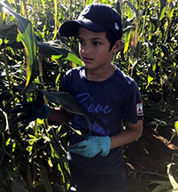 A student gathering corn in a corn field